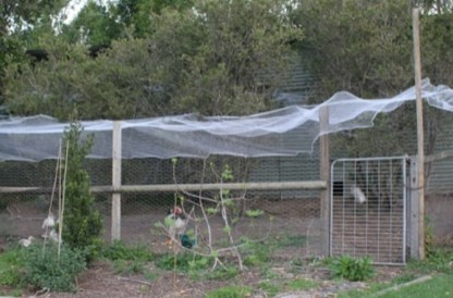 Net to Protect Chicken