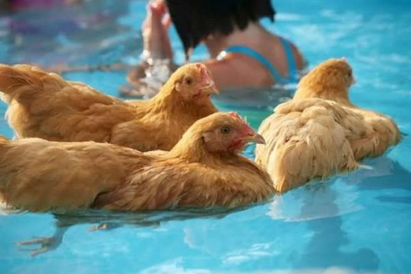 Can Chickens Swim