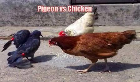 Chicken vs Bird