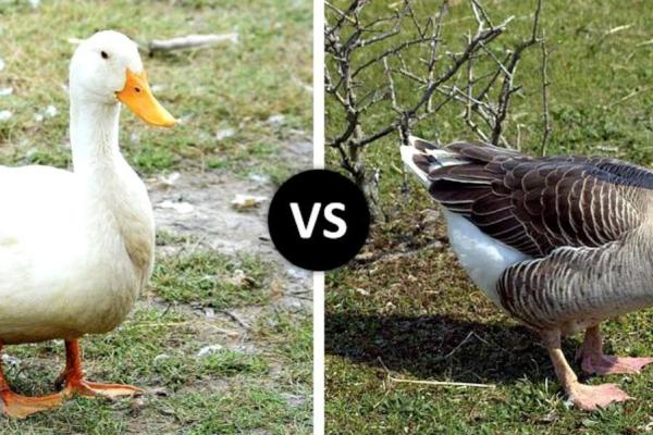 Goose vs Duck