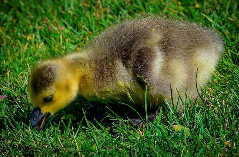 What do Baby Ducks Eat