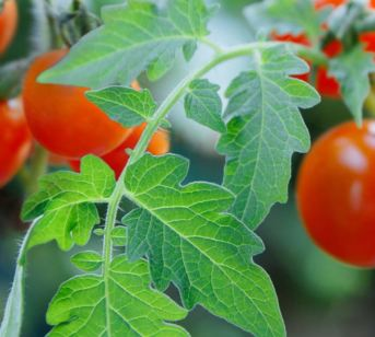 Tomatoes Leaves