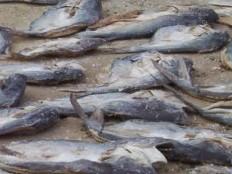 Haïti - Environnement : Des dizaines de poissons morts mystérieusement dans le lac Azuéi