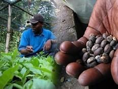 Haïti - Agriculture : 3 millions de dollars pour augmenter et améliorer la qualité du café haïtien