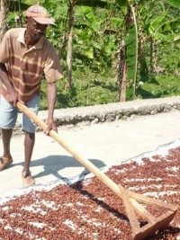 Haïti - Agriculture : Le cacao haïtien reconnu comme l'un des meilleurs du monde