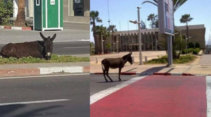 حيوانات تجوب شوارع أكادير في تعبير جاد عن وضعية المدينة السياحية
