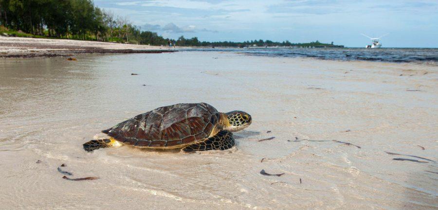 Illegal Fishing Is Devastating Kenya's Sea Turtles
