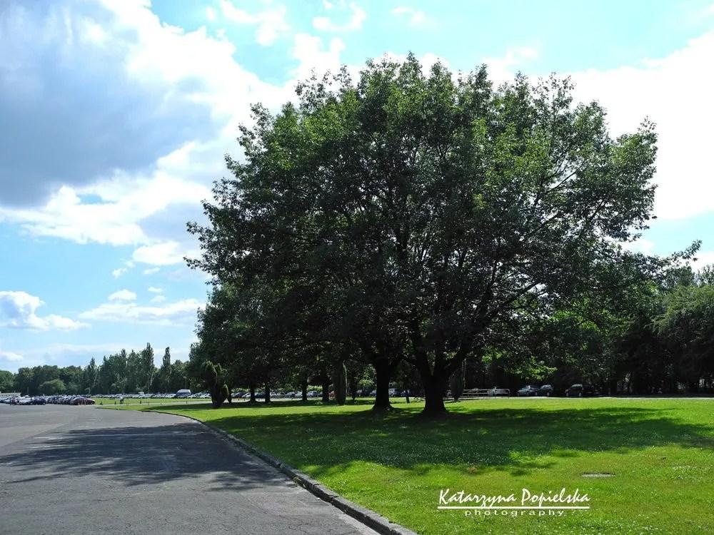 Drzewo nasłużewieckim parkingu