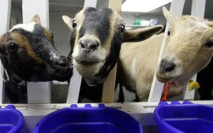 St-Francis-Yom-Kippur-Eid-and-the-poor-goats