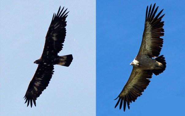 Águila real (izqda) (foto: Elías Gomis (c)) y Buitre leonado (dcha)