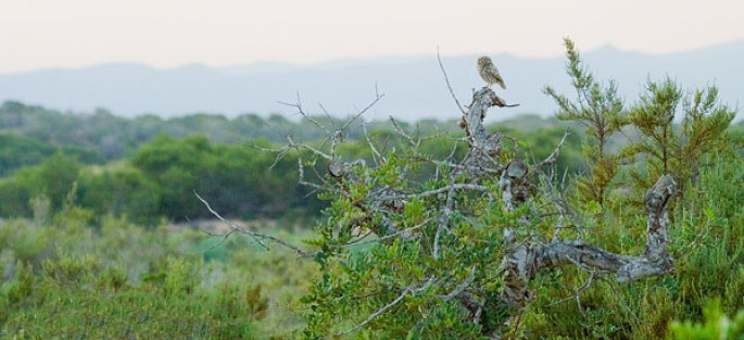 Típico mochuelo posado sobre una rama seca