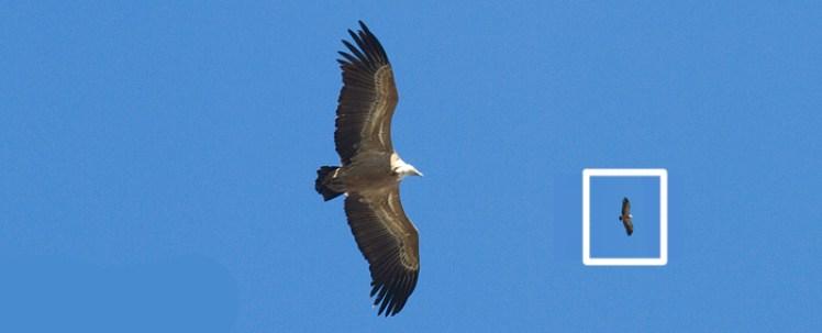 Posición de alas sinuosas características de los buitres leonados