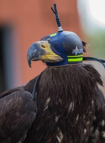 l águila calva es llamada también águila blanca o águila marina americana, una especie de América del Norte. Policía holandesa