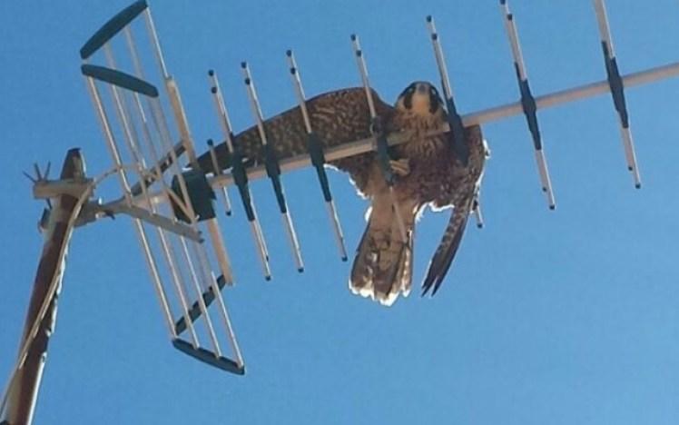El halcón, atrapado en una antena de televisión. / El Correo