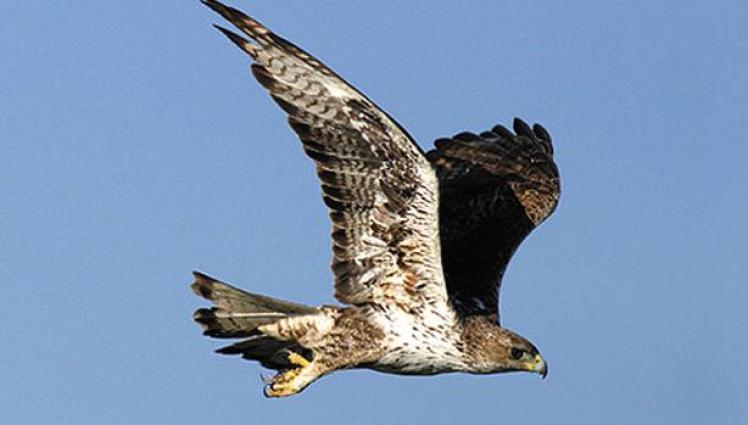 Al menos 92 águilas perdiceras, una especie en peligro de extinción en Europa, han muerto en Cataluña por electrocución desde 1990