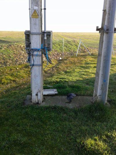 halcon muerto poste