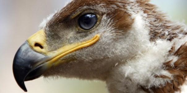 Fotografía de archivo de un águila imperial ibérica. EFE/Eduardo Abad