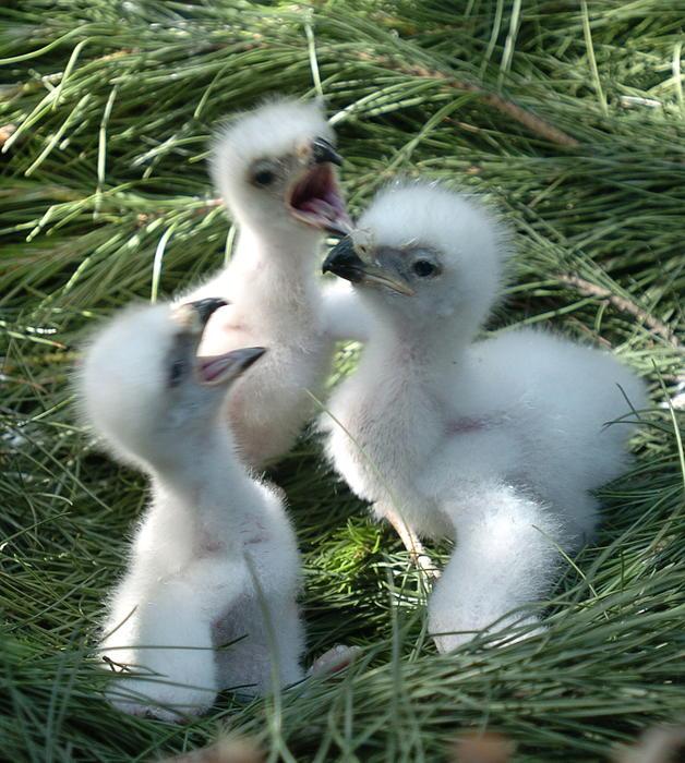 Pollos águila imperial de 5 dias