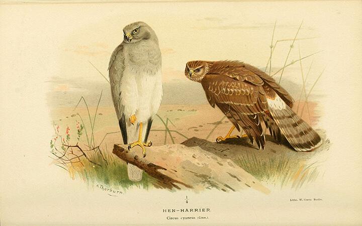 Pareja de Aguilucho pálido (Circus cyaneus)   Autor: Biodiversity Heritage Library
