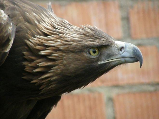Jede, el águila real con la que se ha probado el huevo con IoT (Internet de las Cosas) FIEB