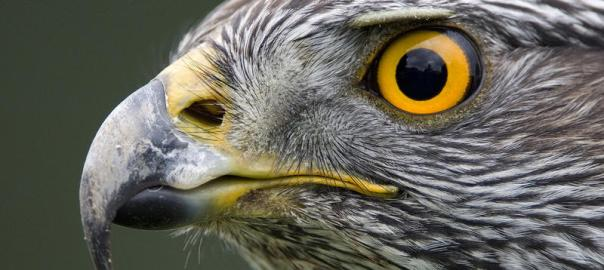 El azor come palomas, córvidos y mamíferos, como liebres y ardillas.
