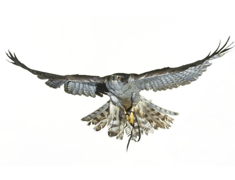 En vuelo y vistos desde abajo, es fácil confundirlos con los gavilanes comunes.