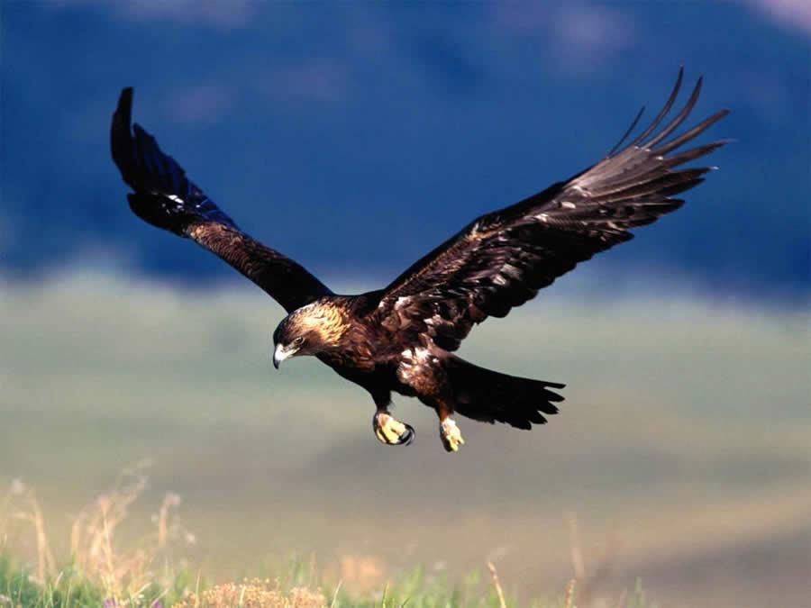 Aves de gran envergadura, comon el águila real, podrán utilizarse para caza mayor de especies como corzo, cirevo, rebeco y cabrá montés según recoge en nuevo decreto. - DL