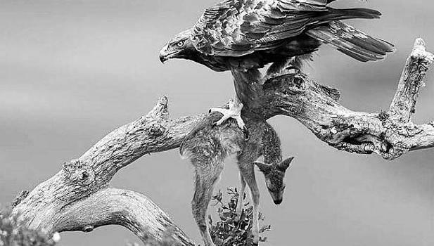 Águila real con un corcino apresado. (Foto: Mario Bregaña)