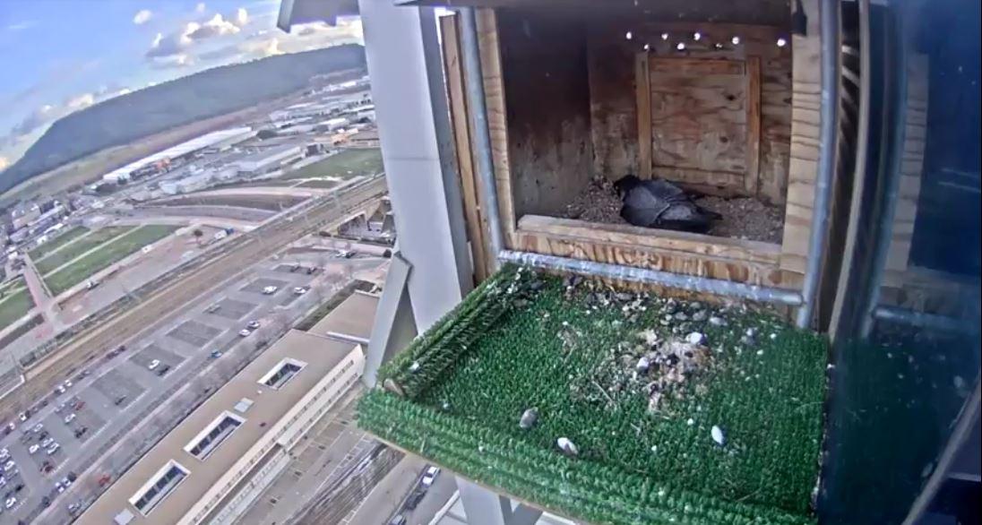 Webcam en directo de la hembra de halcón peregrino de Madrid que ya incuba cuatro huevos