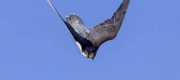 El halcón peregrino - Oxford University