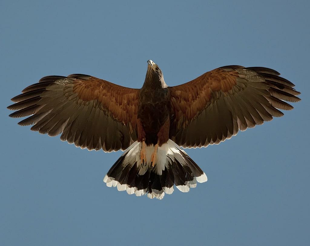 Águila Harris: características, habitat, cuidados y más