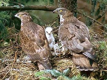 halcones abejeros