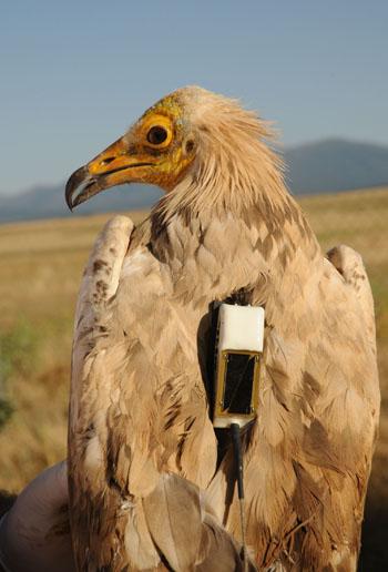 Un ejemplar de alimoche radiomarcado. / WWF España