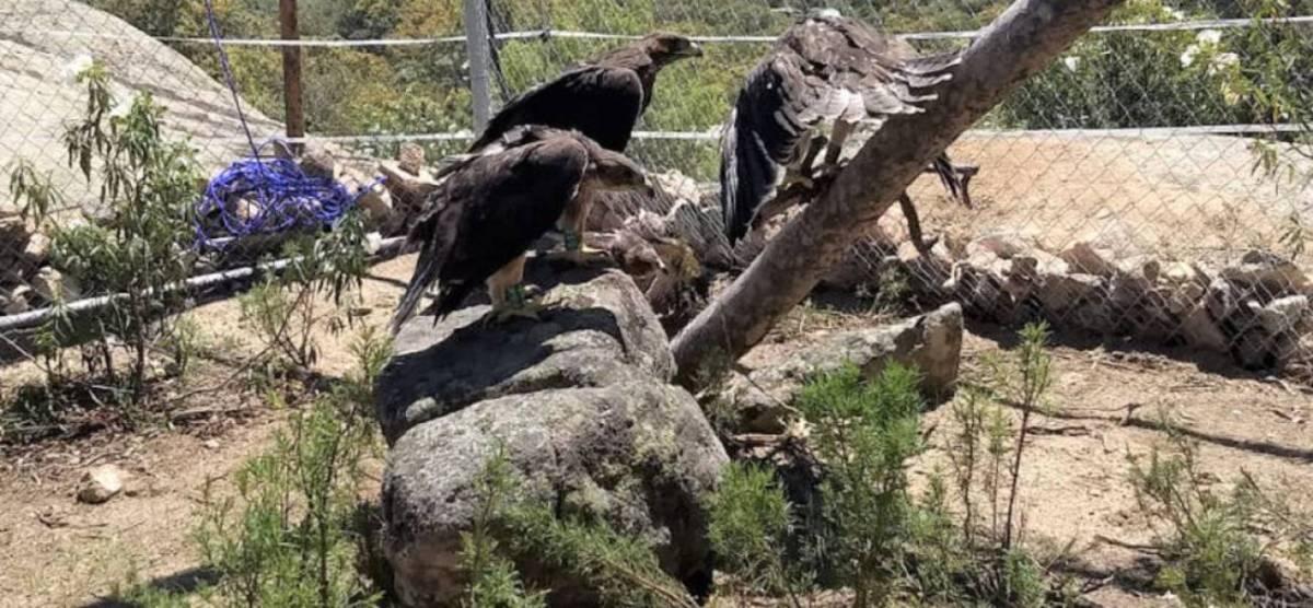 Águilas de Bonelli vuelven a la Cuenca Alta de Manzanares