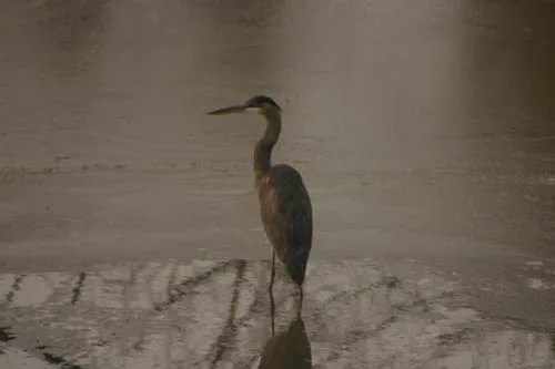A Great blue Heron resting in the Grand River