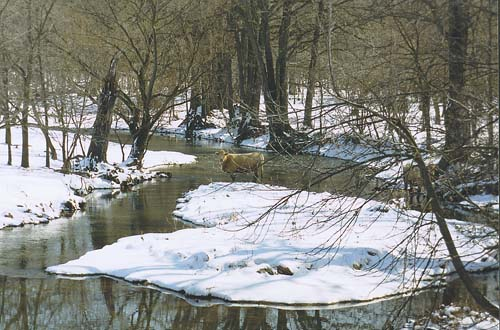 A cow takes a drink from the wintery waters of the Grand River