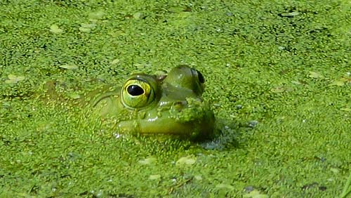 A frog peeks his head up from the algae