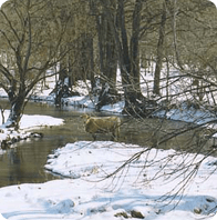 An image of a cow about to drink at a pond in the heart of a snow filled wooded area