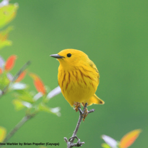 Second Prize Winner: Yellow Warbler by Brian Popelier