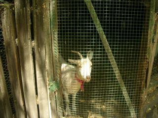goat2.jpg