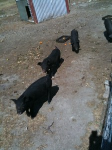 blackpigs