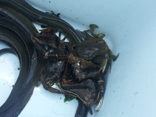 Fire Island Eels and Crabs