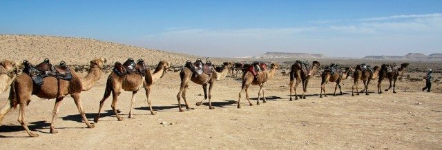 It's like a human centipede, but with camels.