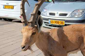 Casual Israeli Ibex