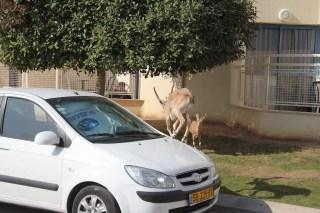 Ibex on Car