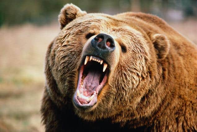 Angry Bear Grizzly