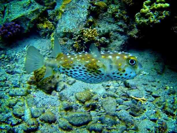Red-Sea-Diving-Pufferfish