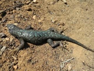 Lizard Closeup