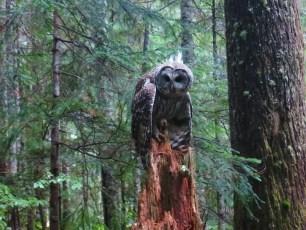 PCT Barred Owl Washington