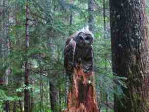 PCT Barred Owl Washington